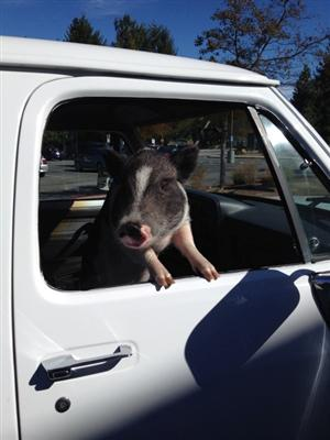 Wally the pig